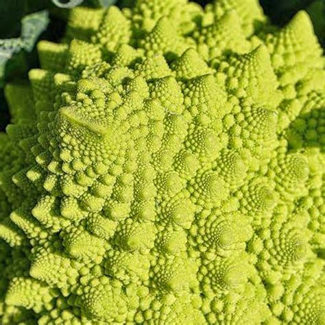 broccoli seeds for sale 5 broccolis vegetable garden seeds