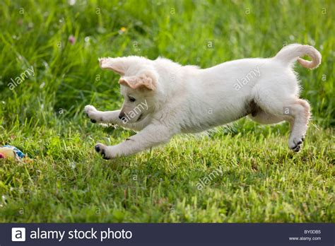 golden retriever jumping golden retriever puppy jumping stock photo royalty free image 33816585 alamy