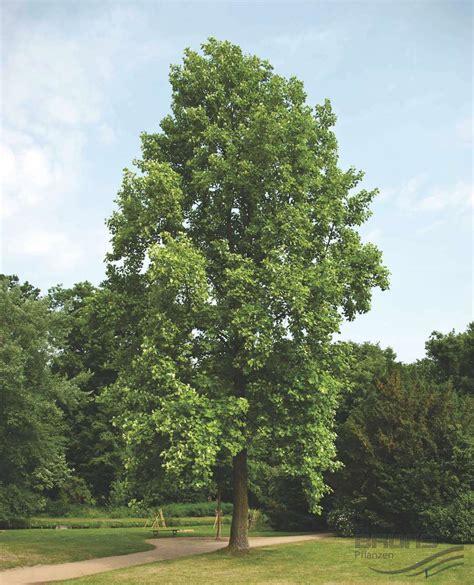 Tree L liriodendron tulipifera l tulip tree pflanzen null