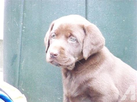 black lab puppies for sale in ny lab puppies akc for sale in homer new york classified americanlisted
