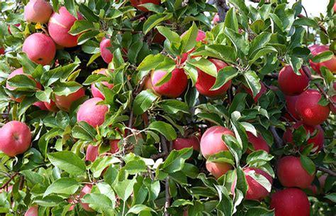 fruits n such orchard grandad s apples n such apples pumpkins corn maze