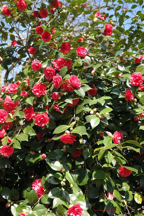 camellia japonica lady campbell theestruik