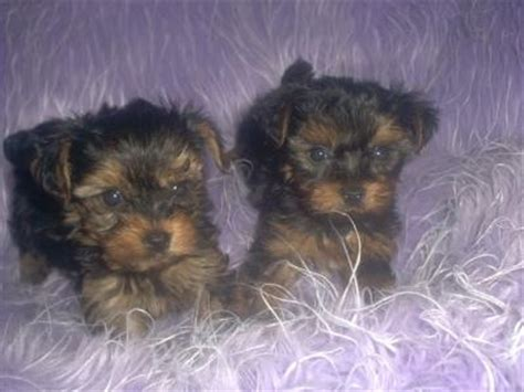 how much are baby teacup yorkies adorable teacup yorkies for adoption jacmaendeacon prlog