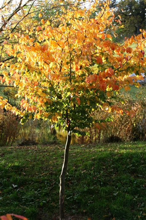 Buy Tree - buy ironwood parrotia persica delivery by crocus