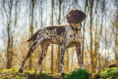 best hiking breeds 15 best breeds for hiking buddies page 8 of 16 outwardon