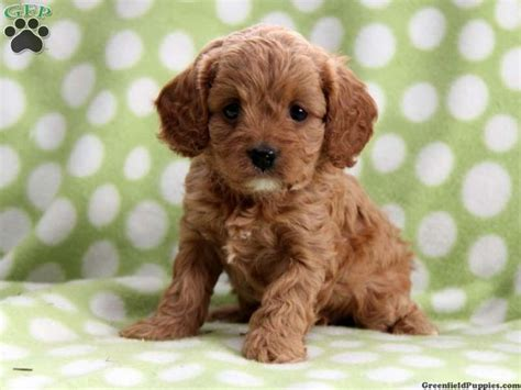 cavapoo puppies cavapoo puppy i want pups for sale puppies for sale and puppys