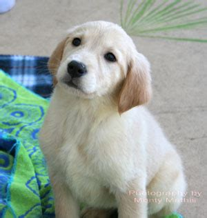 golden retriever puppies jacksonville florida golden retriever breeders near jacksonville fl dogs in our photo