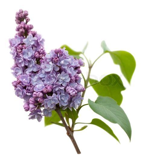 nh fiori purple lilac flowers syringa vulgaris isolated on white