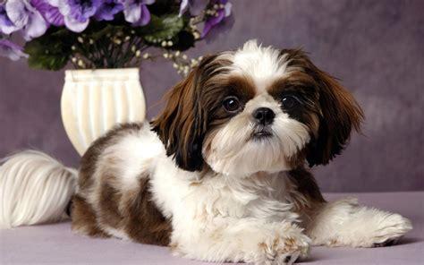 shitzu dogs mira nombres para perros shih tzu para o hembra 4 patas