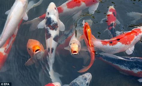 Lukisan Koi Big Myy 13 richard du parcq attacked two he in his koi carp pond daily mail