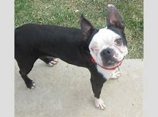 Lost Black and White Boston Terrier | San Diego Lost Dogs Missing Dog