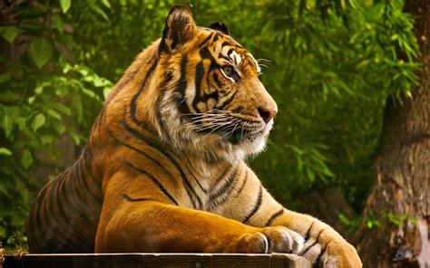 wallpaper tiger free download tiger wallpapers hd free download