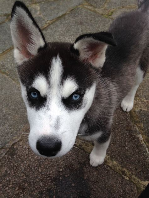 siberian husky puppies for adoption siberian husky for temporary adoption south west pets4homes