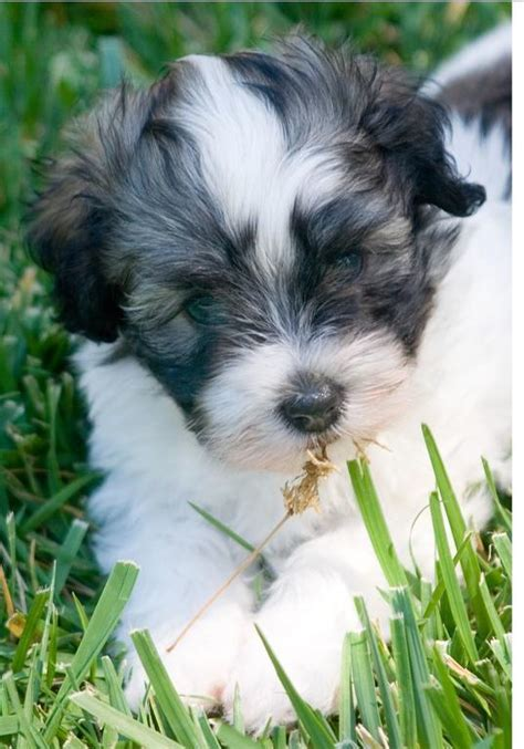 havanese org havanese puppy photo jpg hi res 720p hd