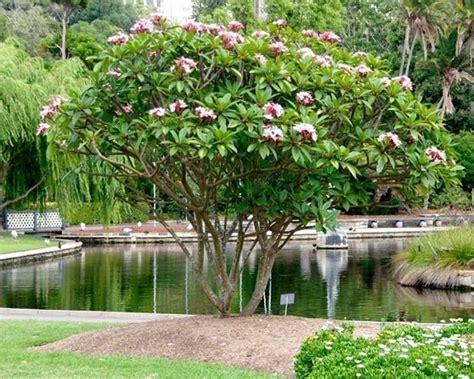 fiore da giardino frangipane fiore piante da giardino fiore frangipane