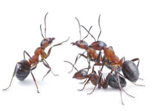 big ants in bathroom 5 common types of ants in maryland and how to keep them