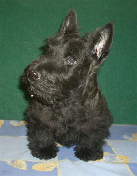 scottish terrier no haircut 25 melhores ideias de terrier escoceses no pinterest