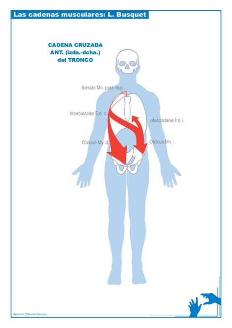 cadenas musculares tronco busquet cadenas musculares laminas