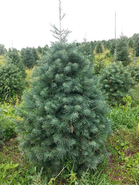 Showers Tree Farm by Concolor Fir White Fir Showers Tree Farm