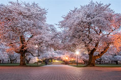 uw cherry blossom cam  seattle  dostuffathome