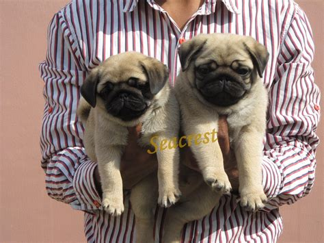 buy pug india pug puppies for sale gurbrijesh singh1 15905 dogs for