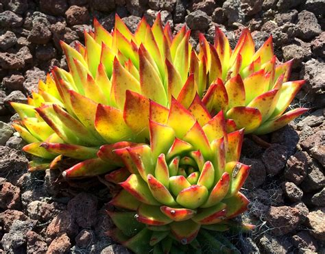 top 28 out of africa succulents 293 best images about