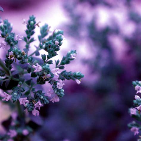 fiori febbraio febbraio violetto fito