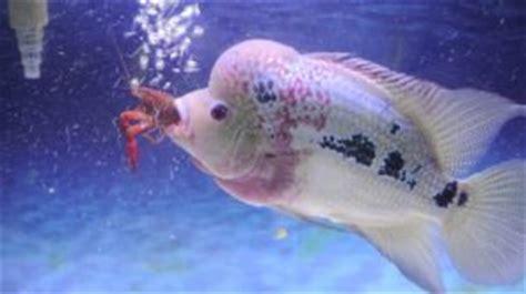 cara budidaya ikan hias louhan di akuarium