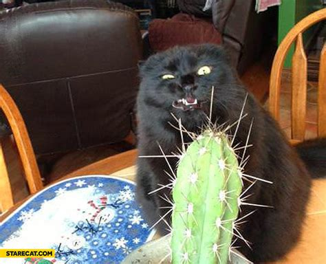 cat cactus starecat com