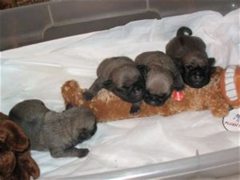 black pugs for sale in michigan pug puppies in michigan