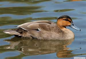 types of dabbling duck species wildfowl identification