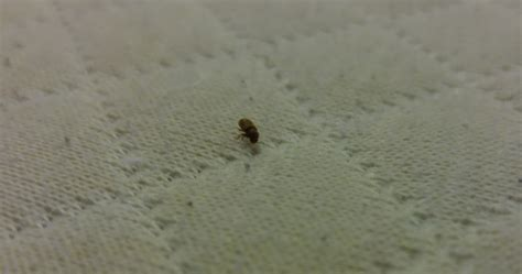 tiny mites in bedroom bugs in bedroom tiny bugs in bedroom cpgworkflow com