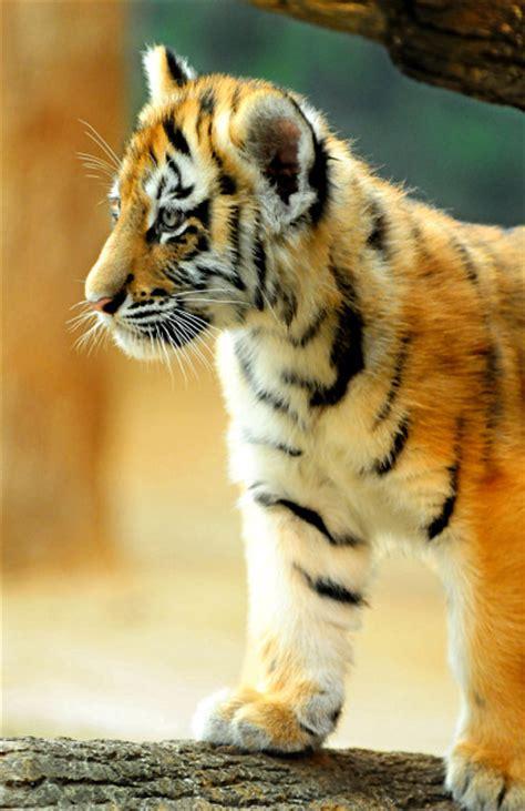 twin tiger girls   handful zooborns