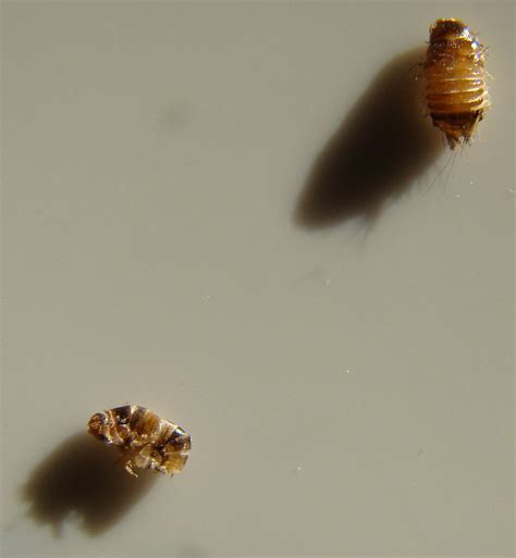 Are these bed bugs? I found these dead insects on the