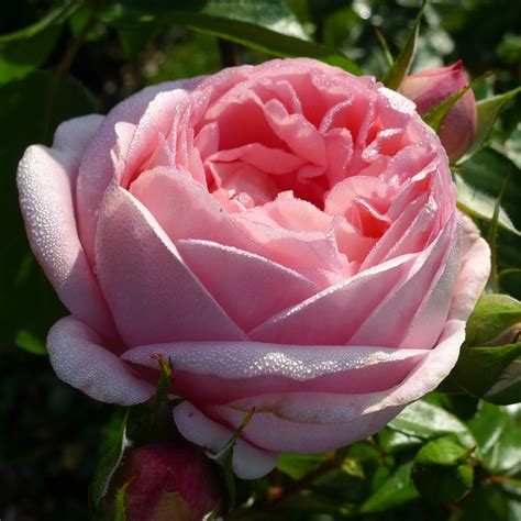 Buy Roses by Voyage 174 Nostalgic Roses 174 Buy Tantau
