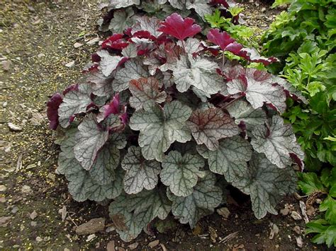 Daster Bell Puding coral bells auntie dogma s garden spot