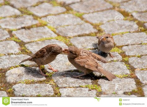 sparrows feeding royalty free stock photography image