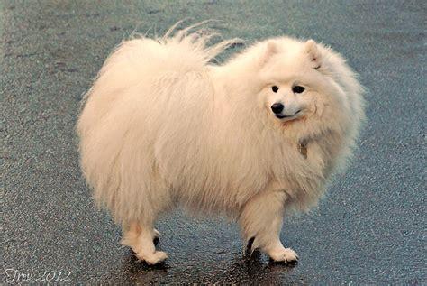 how to a spitz spitz razza canina