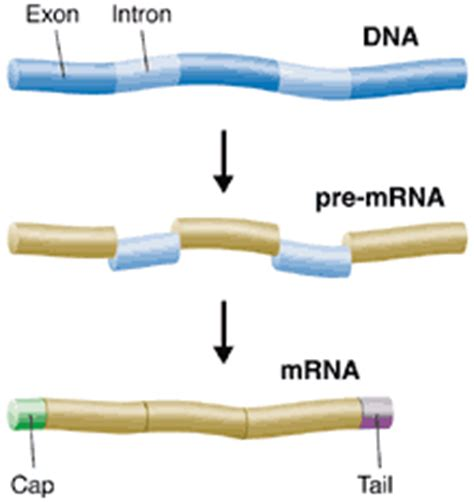 many rna molecules from eukaryotic genes have sections called prentice hall biology