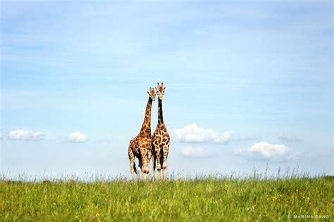 Maianan Animal Kingdom 58 best jirafas en cabarceno cantabria spain images on