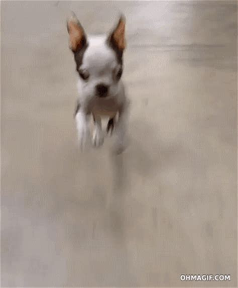 like a bunny cute boston terrier puppy bouncing like a bunny funny