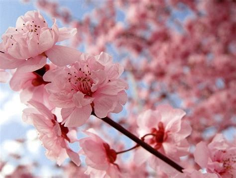 Japanese Cherry Blossom Flower Pretty In Pink It S Cherry Blossom Time In Japan Huffpost