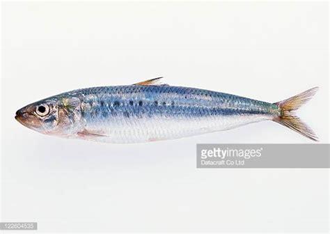 Sarden Mackerel Botan A1 2 sardine stock photos and pictures getty images