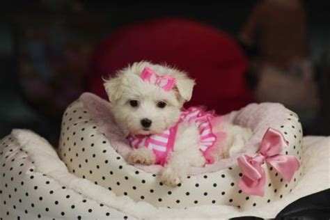teacup puppies for sale in florida 17 best ideas about maltese puppies for sale on teacup maltese puppies