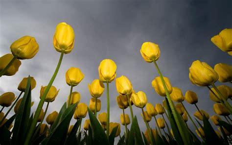 wallpaper bunga tulip kuning tulip wallpaper bunga alam alam wallpaper download gratis