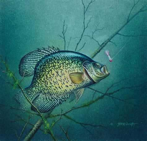 Crappie Images crappie and pink jig painting by jq licensing