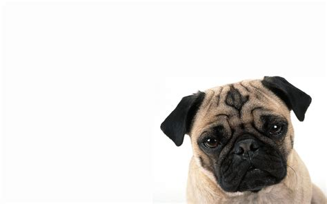 wallpapers of pugs pug wallpaper 205 wide wallpaper dogbreedswallpapers