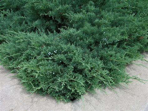 how to grow juniper growing and caring for junipers