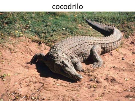 libro el cocodrilo al que el cocodrilo