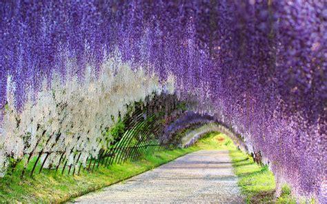 the wisteria flower tunnel at kawachi fuji garden flowers wisteria tunnel flower kawachi fuji gardens